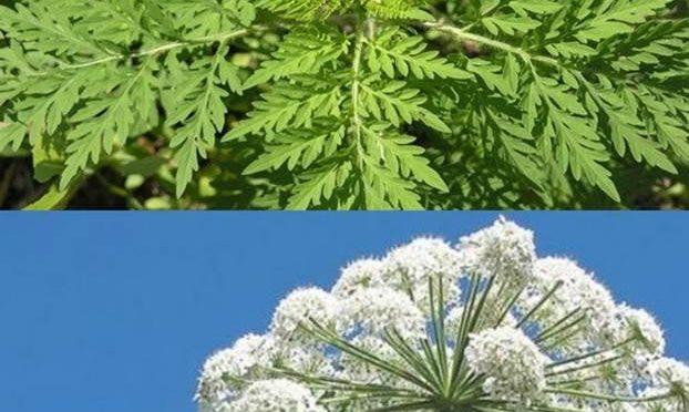 Обережно, небезпечні рослини: борщівник сосновського та амброзія полинолиста